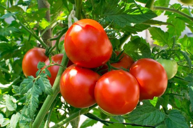 tomatoes without soil