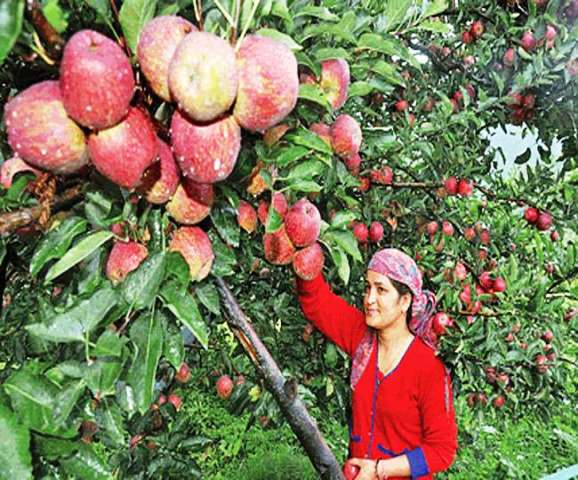 Himachal pradesh apple farming