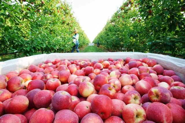 Apple Farming