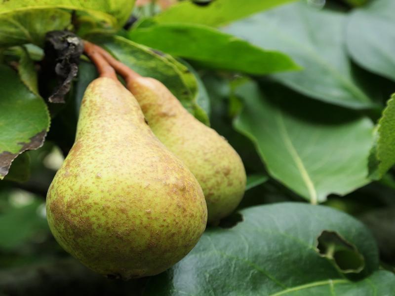 seasonal fruit pears