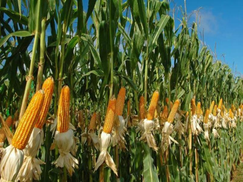 india maize