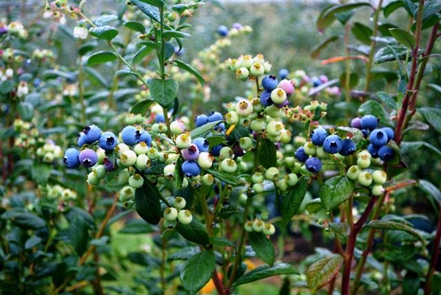 blueberries-pigeon-pair-plantnet