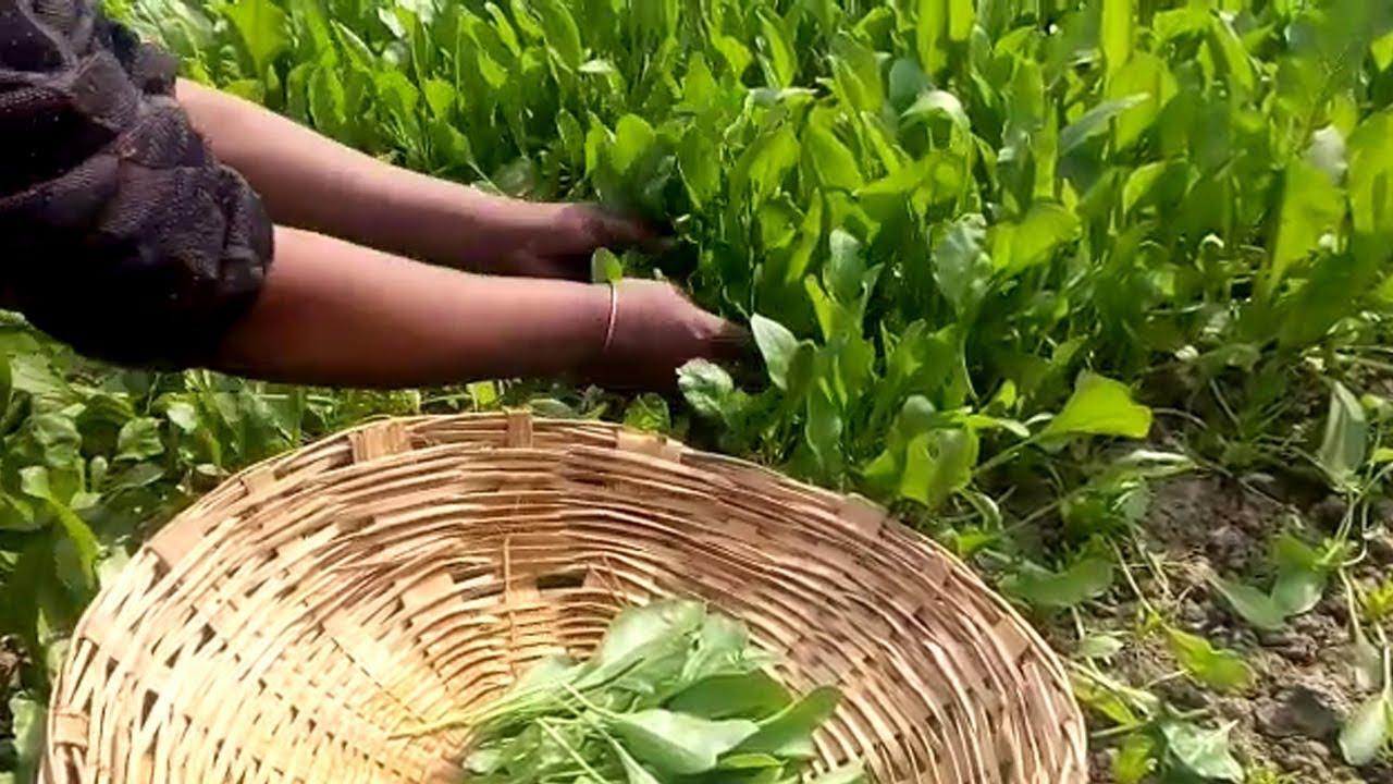 spinach farming