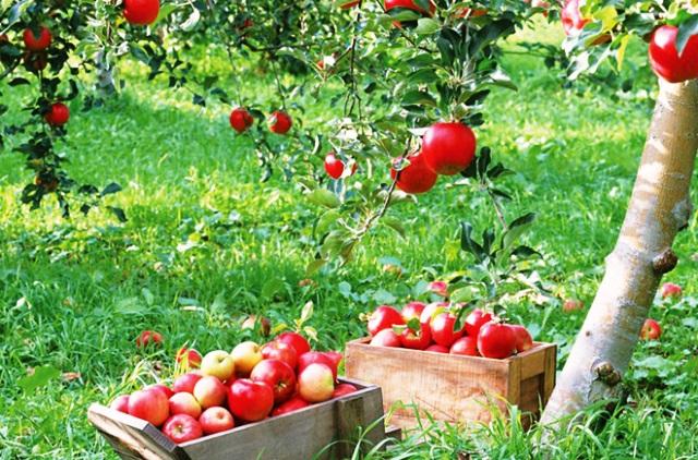 apple-tree-hd-photos