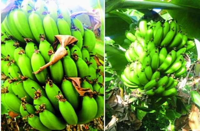 Banana farming madhya pradesh