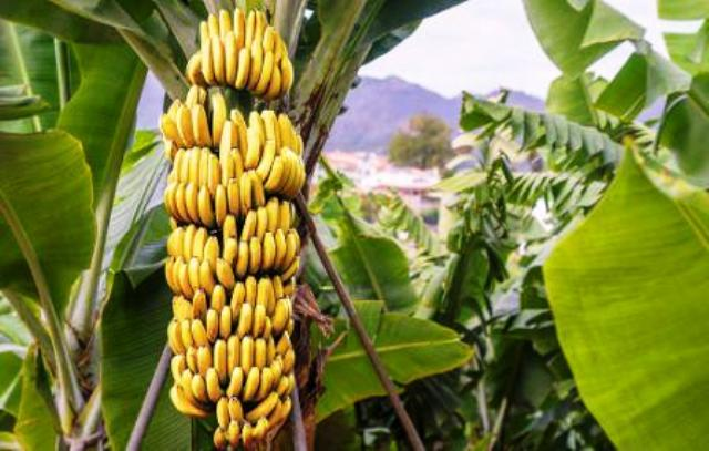 cultivate banana