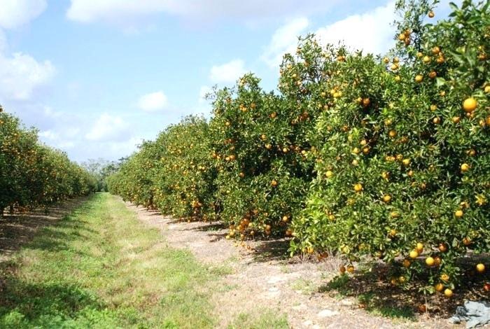 lemon cultvation