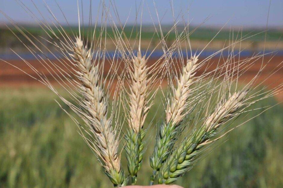 wheat variety karan
