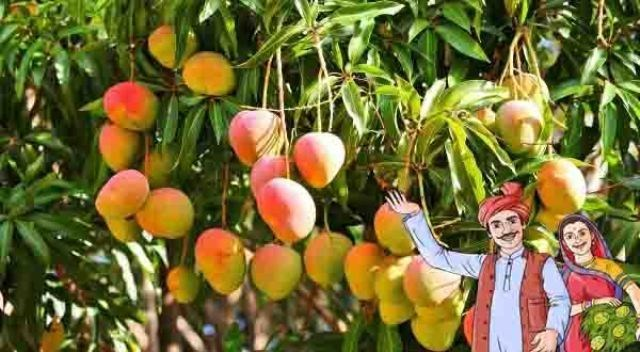 mango farmming
