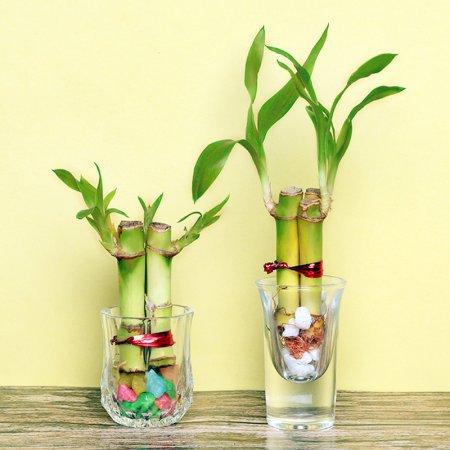 banboo plant