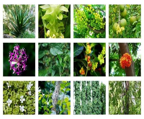 fifatrol medicine medicinal plant