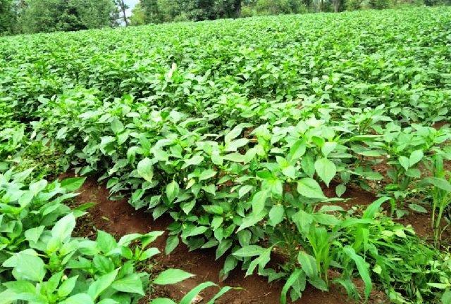 Solan farming