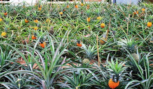pineapple and human health