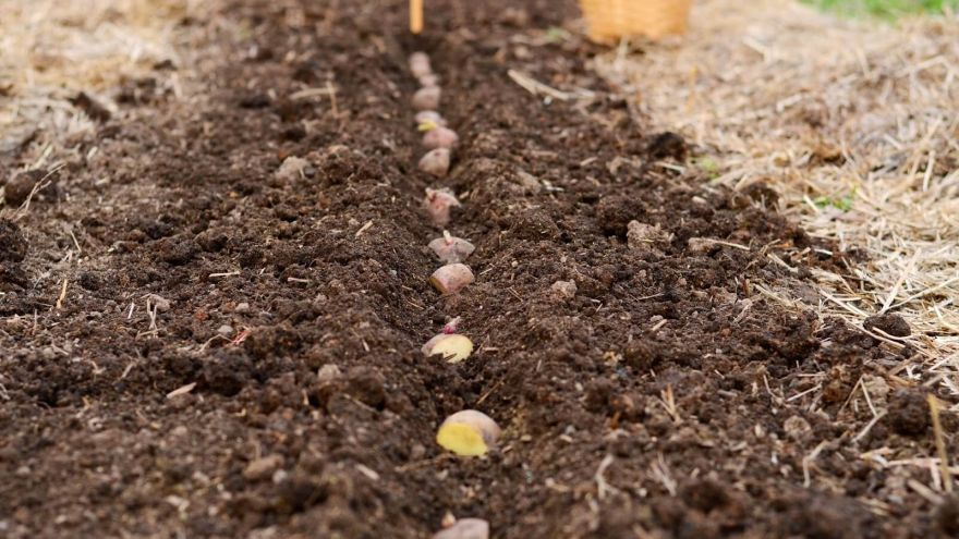 potato sowing