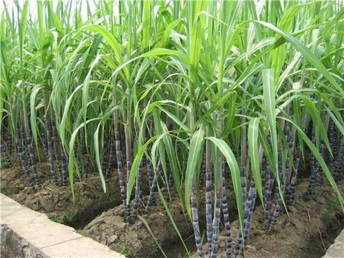 Sugarcane polly