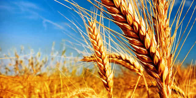 Subsidy on wheat seed