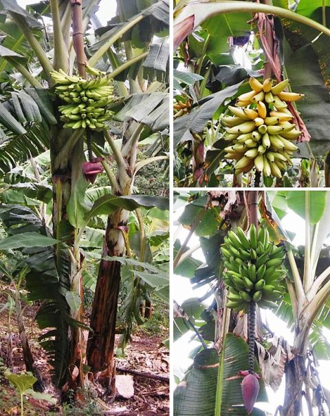 banana flower nutritional information