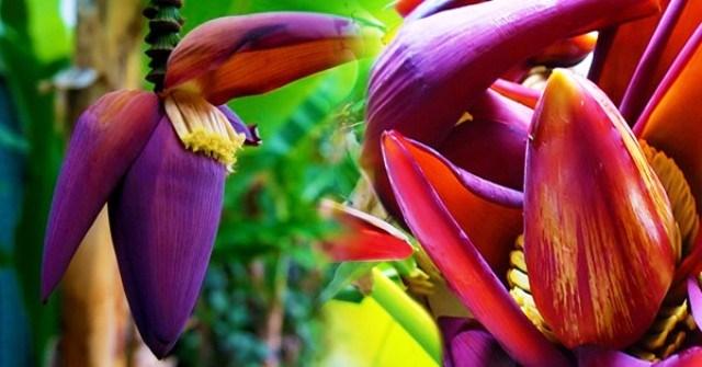 banana flower benefits