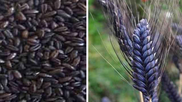 black wheat seed in india