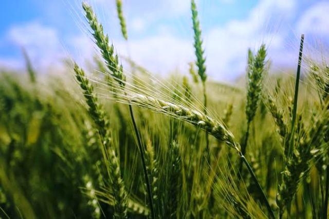 new-wheat-variety-karan-vandana