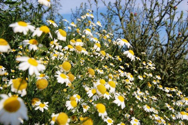 benfits of chamomile