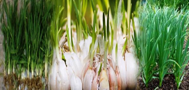 benefits of garlic benefits of lehsun
