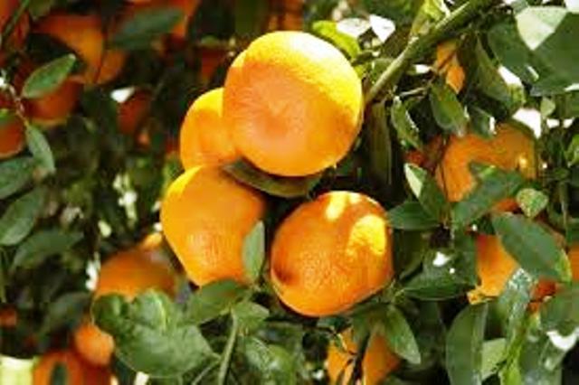 orange in tripura