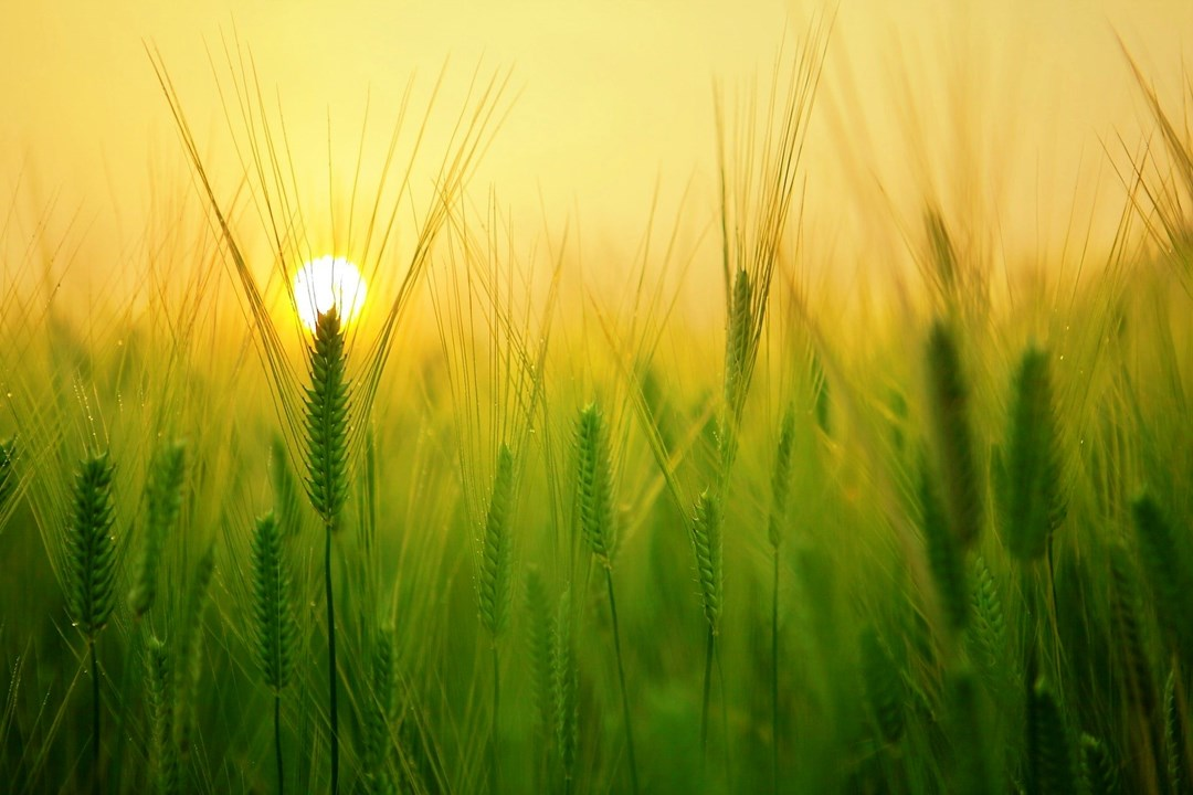 name the fortified variety of wheat