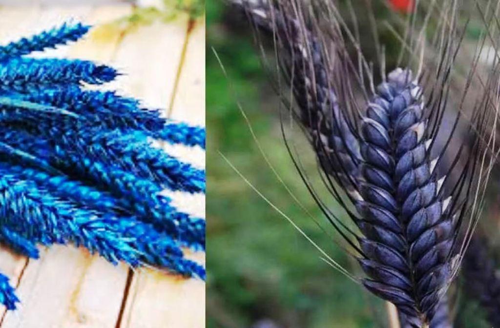 kudrat wheat variety