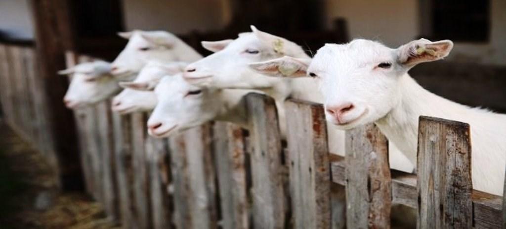 oatmeal honey goat milk soap
