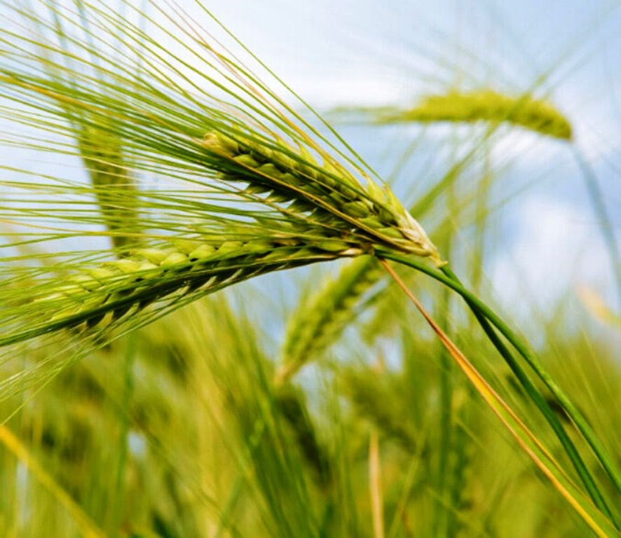 New wheat variety