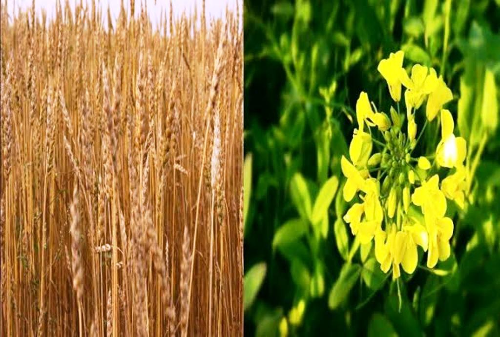 minimum support price of wheat