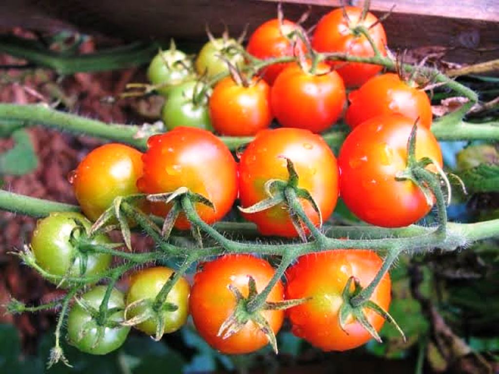 best tomato seeds in india
