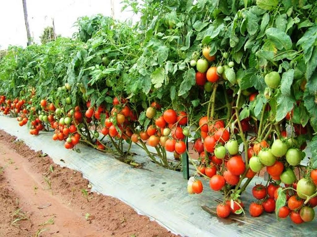 best tasting hybrid tomatoes