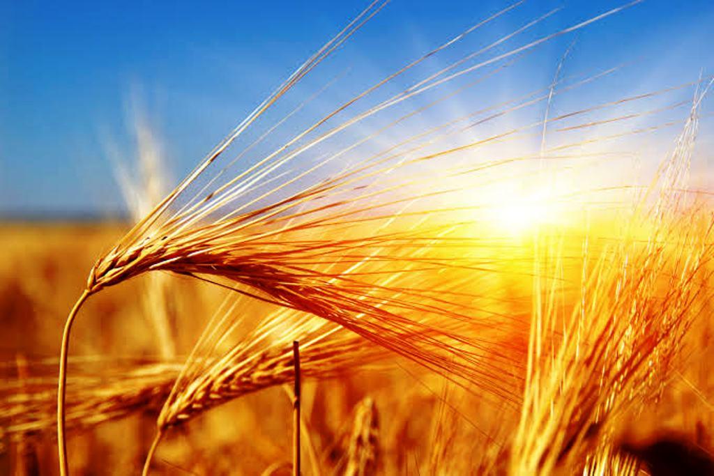 New varieties of wheat