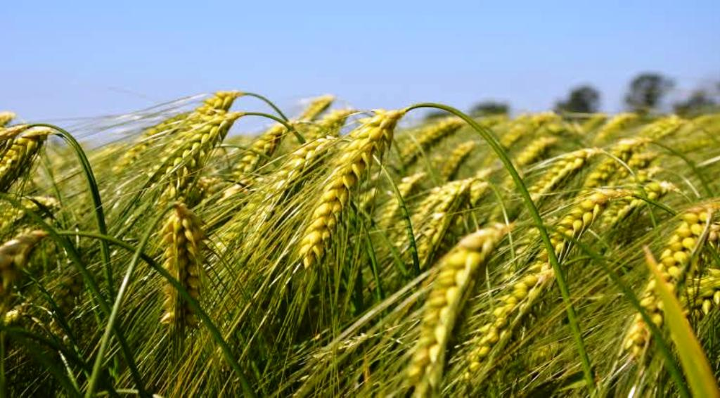Varieties of wheat for delayed sowing