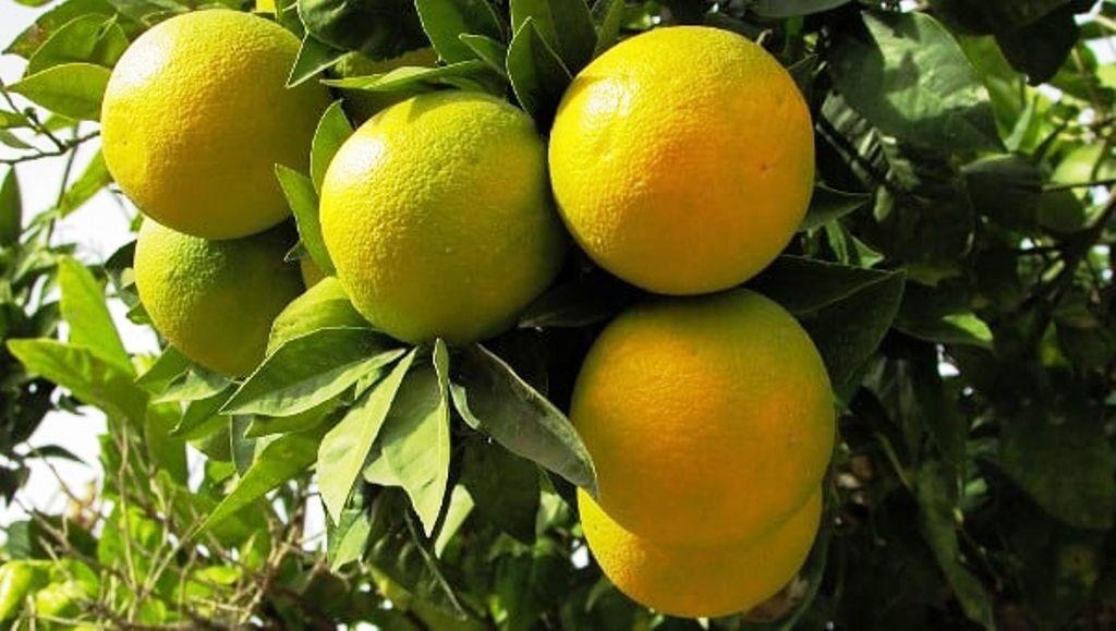 Orange cultivation
