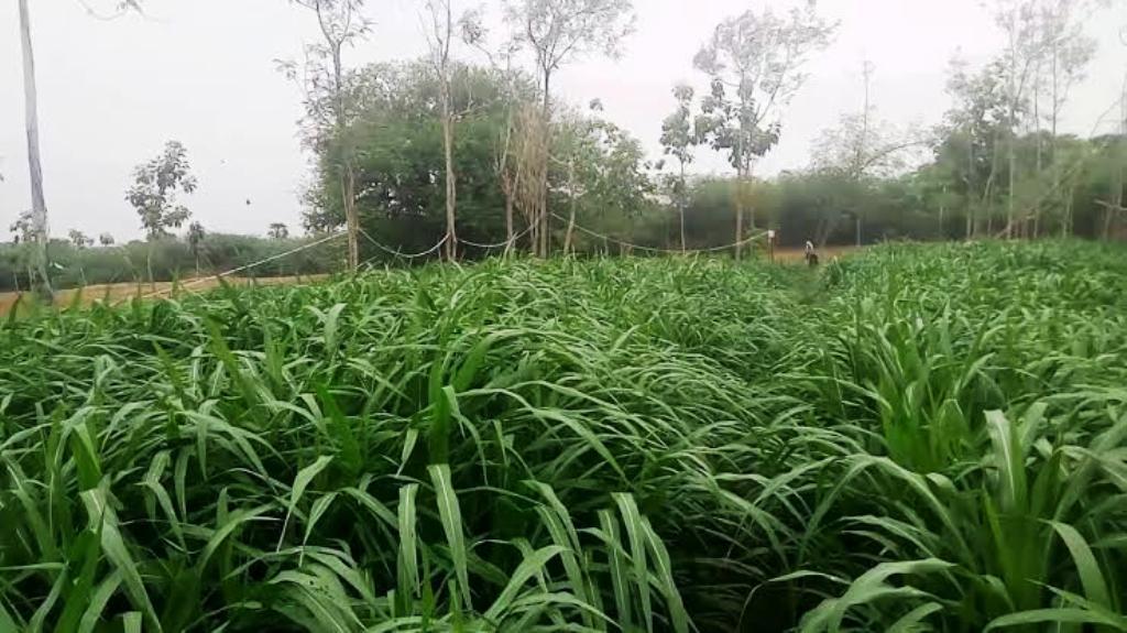 shankar napier grass and farming