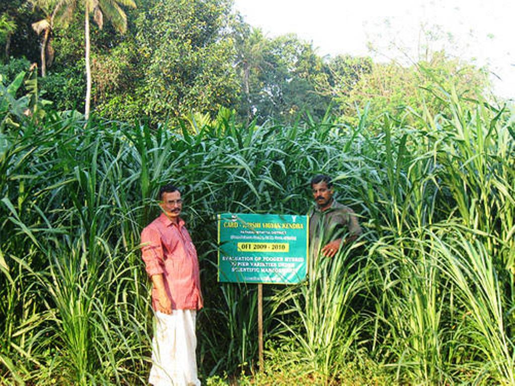 animal husbandry and shankar napier grass