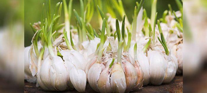 garlic crop farming