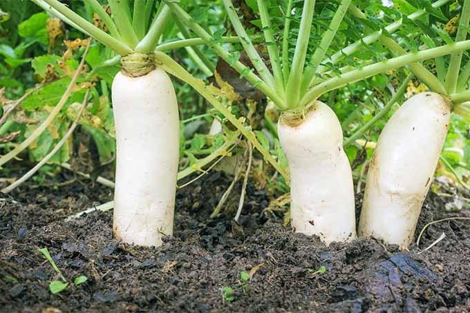 radish cultivation