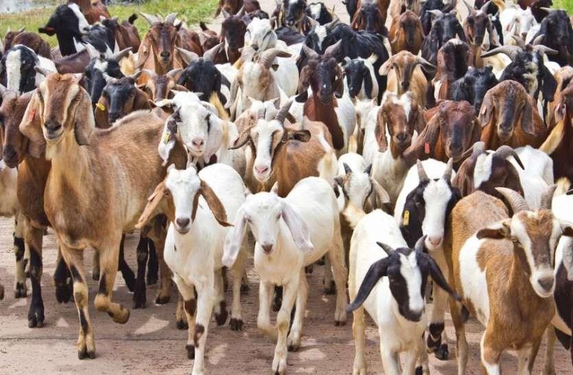 goat farm9ng