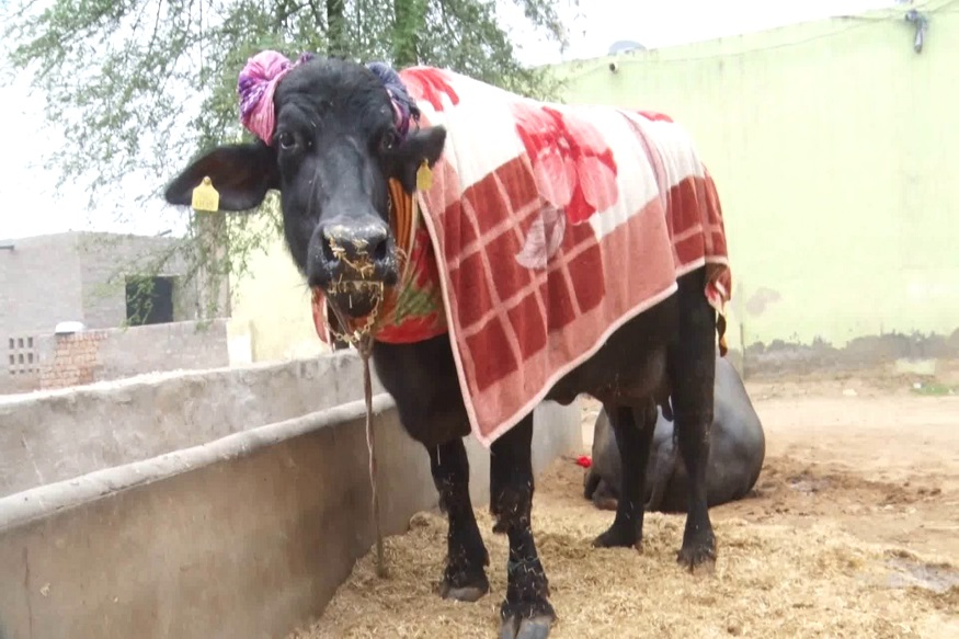 buffalo sarawathi