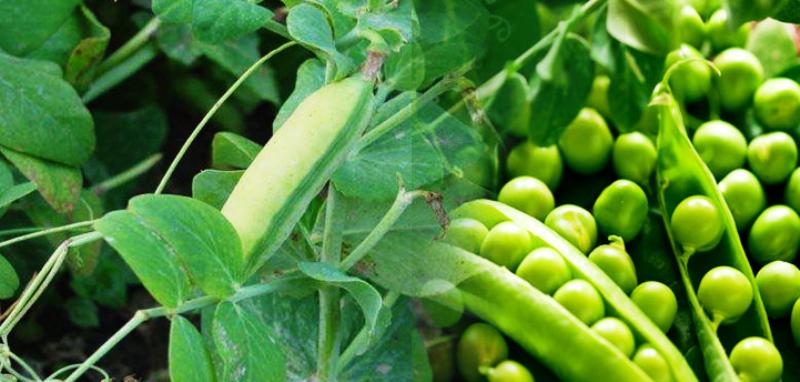 pea farming