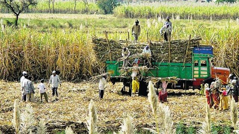 ganna farmers