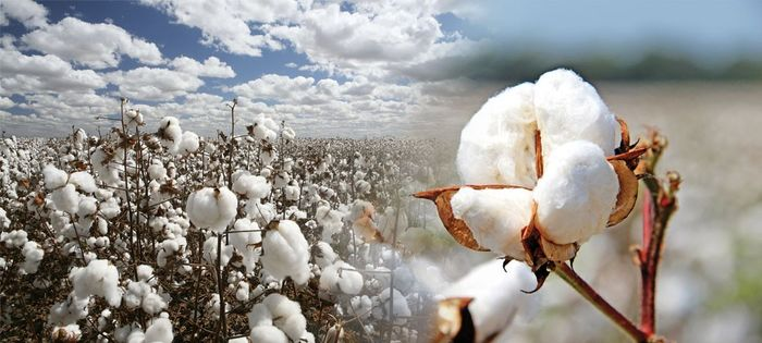 Use of cotton