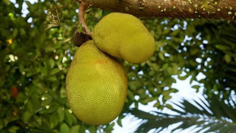 Jackfruit farming