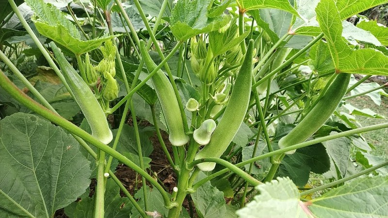 Okra cultivation