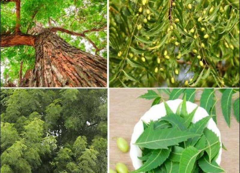 Treatment of disease with leaves