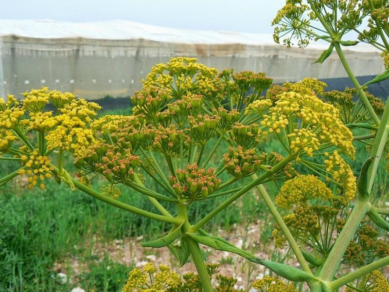 Asafoetida cultivation in India